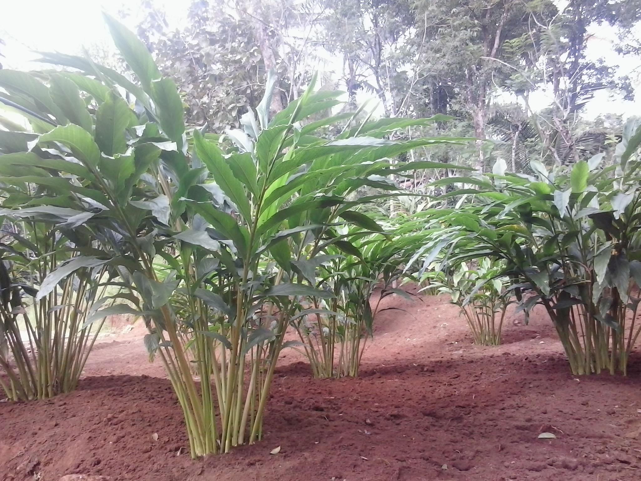cardamom-cultivation