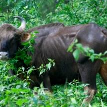 indian-bison-2