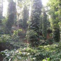 plantaion 3
