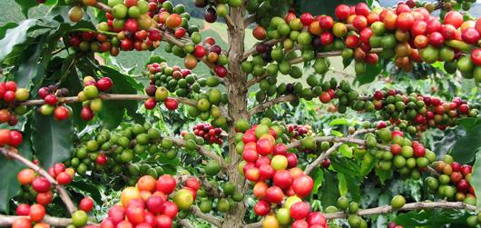 plantaion 7