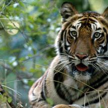 periyar tigers