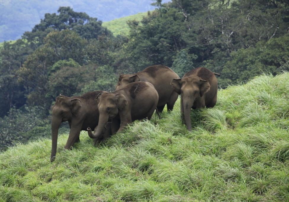 ELAPHANTS AT MEENMUTTY, IDUKKI WILD LIFE SANCURY